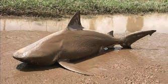 shark queensland