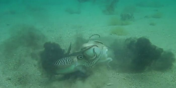 Cuttlefish mating fighting