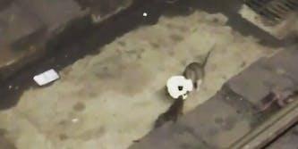 Bagel rats New York City subway
