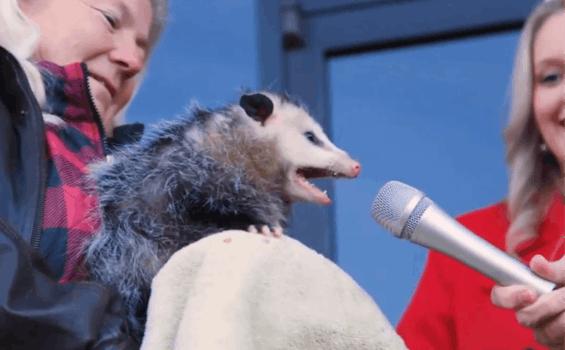 possum yelling into microphone