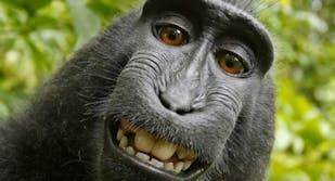 Monkey takes selfie