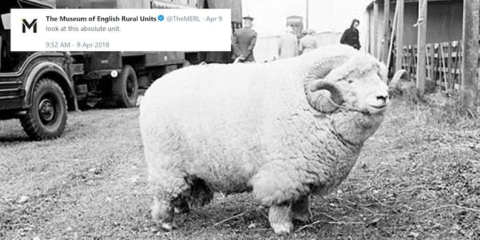 Exmoor Horn aged ram absolute unit