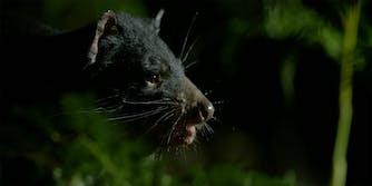 tasmanian devil crowdfund