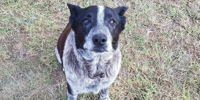 A 17-year-old blue heeler named Max reportedly helped rescue a 3-year-old who was lost in rugged Australian terrain overnight.