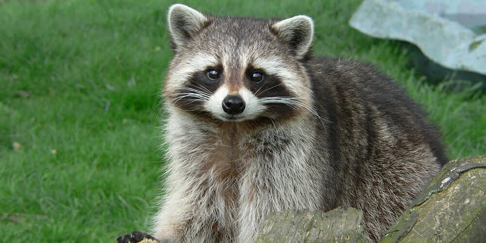Wayne Township Fire Department in Indianapolis posted on Facebook about a woman who arrived at the fire station seeking treatment for her pet raccoon who consumed marijuana.
