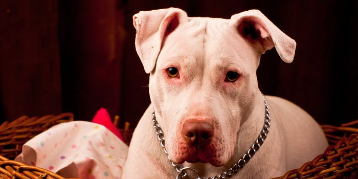 Photo of a pit bull