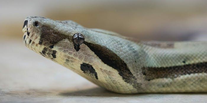 snake_boa_constrictor_snake