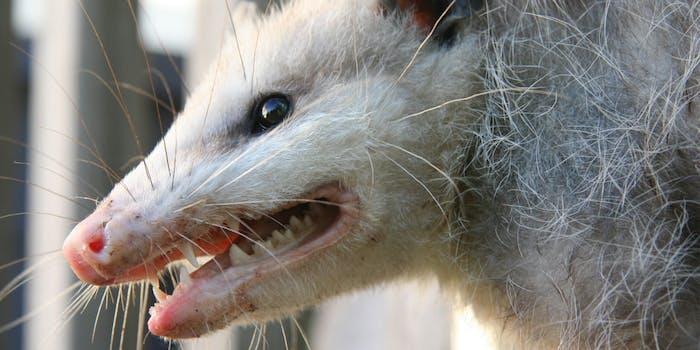 Possum screaming meme