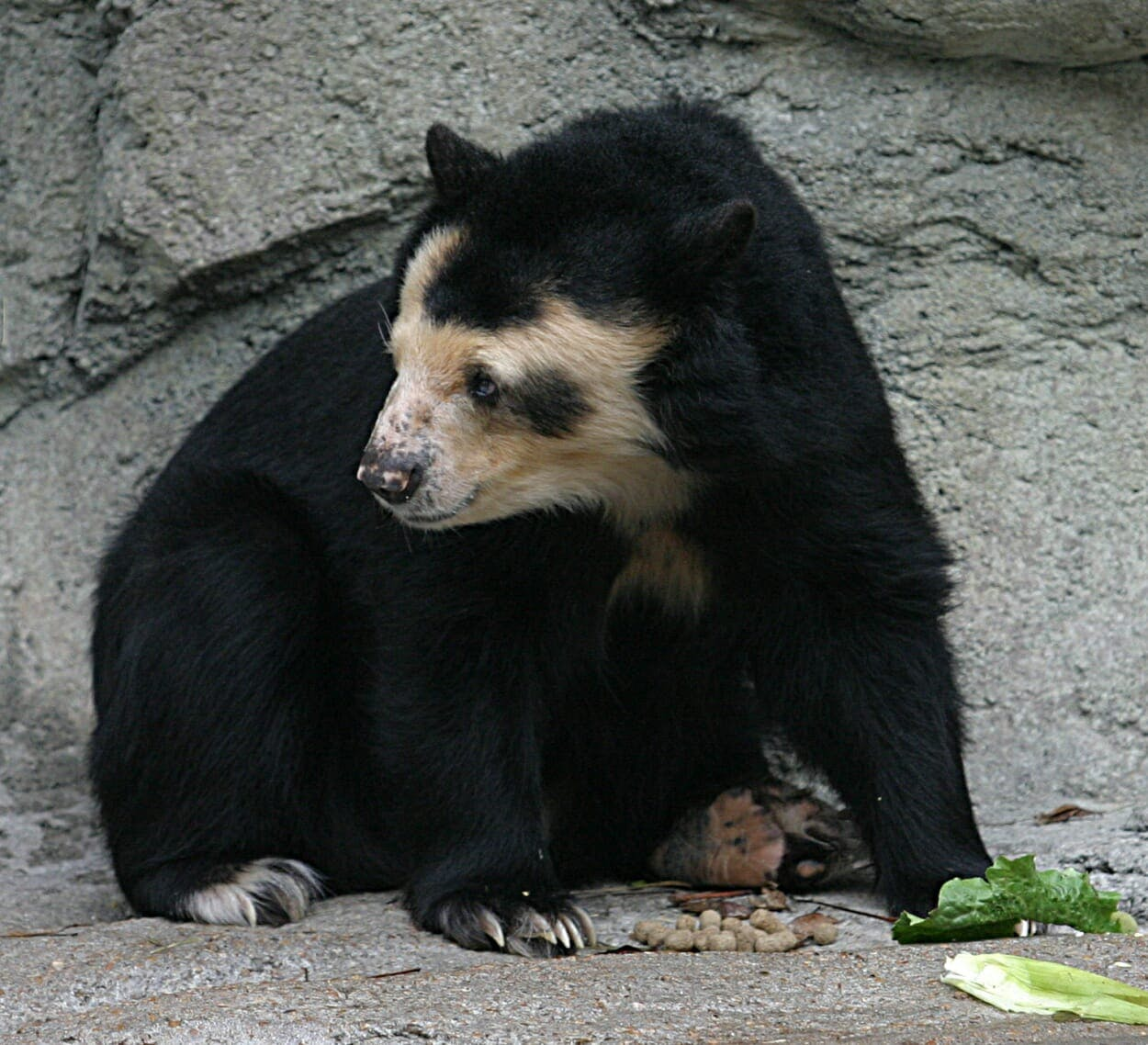 Spectacled_Bear_-_Houston_Zoo