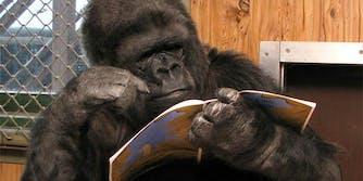 koko reading a book