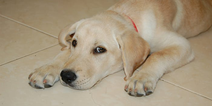 Labrador retriever sitting on floor looking at camera