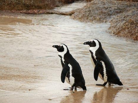 penguin couple beach
