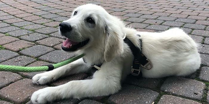 Indy therapy dog at USC