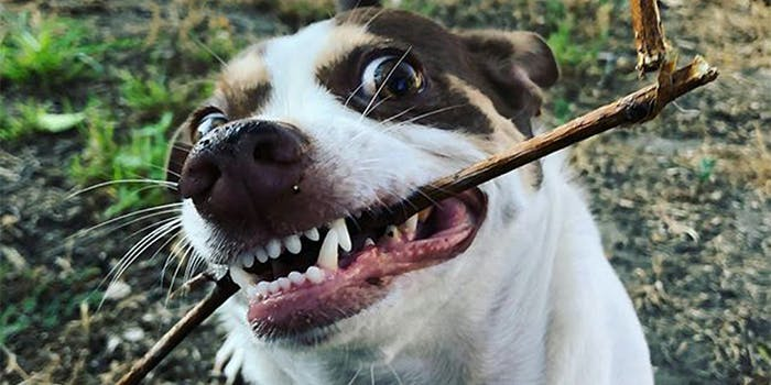 mister bubz with a stick in his mouth