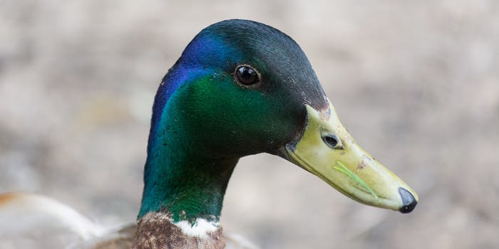 Mallard duck head