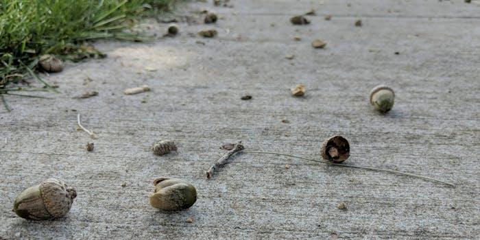 acorns on sidewalk