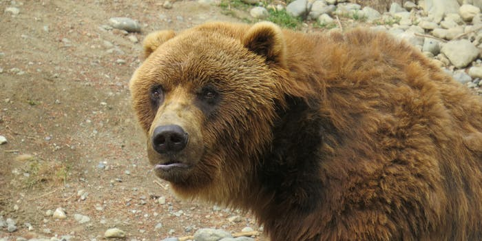 It's Fat Bear Week for Alaska's Katmai National Park.