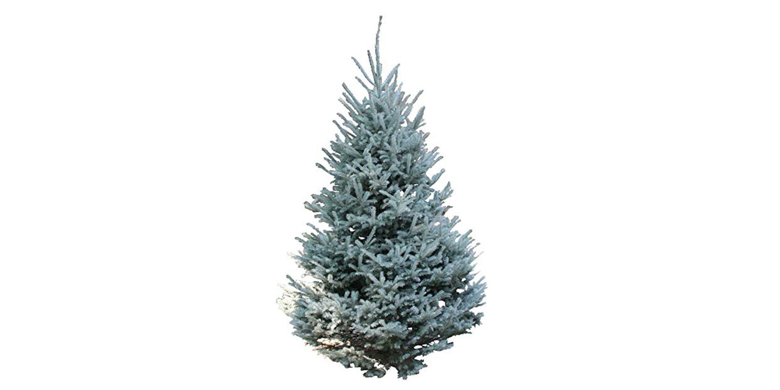 Christmas trees snow tip