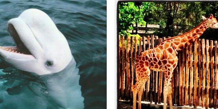 melania whale giraffe tweet