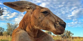 roger buff kangaroo