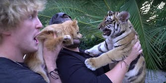 tiger cub logan paul video