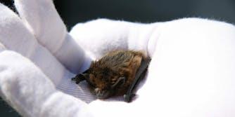 pipisterllus bat