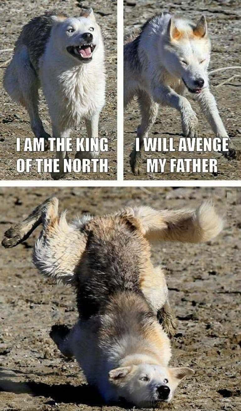The king of the north wolf