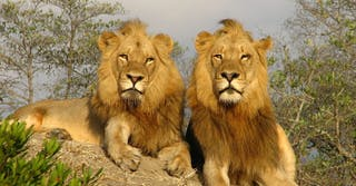 noah's ark lions