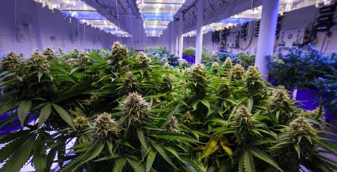 marijuana leaflink
