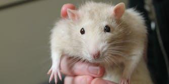 rat toilet bowl