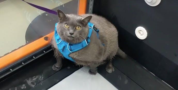 viral-cat-cinderblock-treadmill-weight-loss