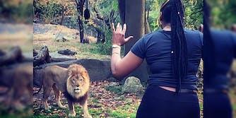lion bronx zoo