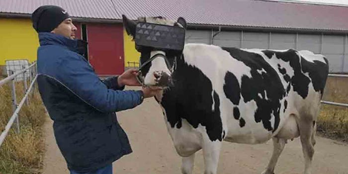 russian-cows-virtual-reality-headsets