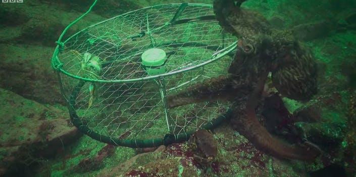 octopus crab trap