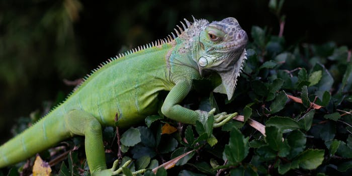 iguana meat florida DO NOT REUSE