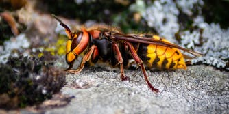 murder hornet memes