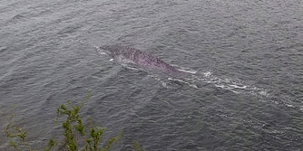 picture of large unidentified creature in loch ness