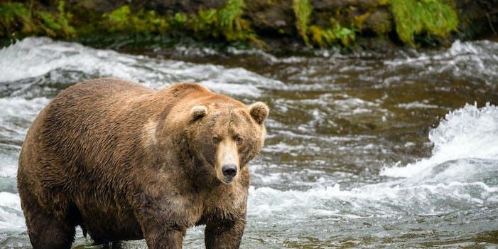 fat bear week 2000