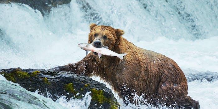 fat bear week memes