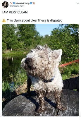 """I AM VERY CLEAN!  Warning sign This claim about cleanliness is disputed"" photograph of a happy mud covered white Scots terrier"