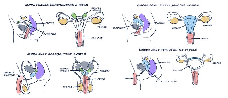 Anatomical diagrams by Tumblr user askbetaboys depicting omegaverse anatomy for alpha and omega individuals.