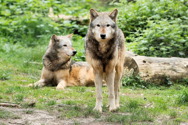 An image of two wolves in greenery. The omegaverse was inspired by erroneous understandings of wolf pack dynamics.