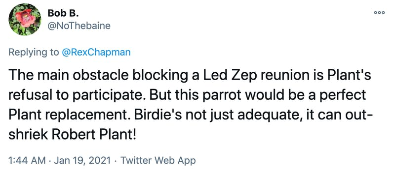 The main obstacle blocking a Led Zep reunion is Plant's refusal to participate. But this parrot would be a perfect Plant replacement. Birdie's not just adequate, it can out-shriek Robert Plant!