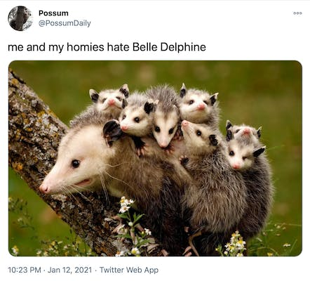 """""""me and my homies hate Belle Delphine"""" photograph of a possum on a branch with it's babies on it's back"""