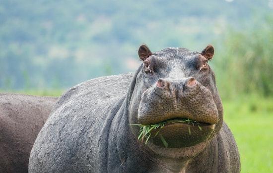 cocaine hippo memes
