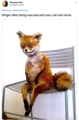 """Ginger after being rescued and now y'all otw home"" a very badly made taxidermies fox on a chair, it has a nervous expression"