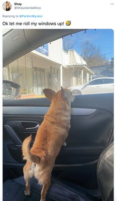 """Ok let me roll my windows up! Rolling on the floor laughing"" a little brown dog with a curly tail looks out of a car window"