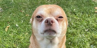 A chihuahua staring at the camera with ears back.