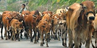 Thailand cows COVID