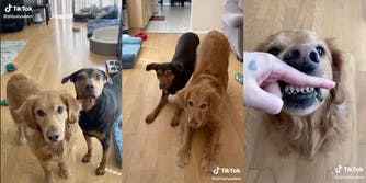 Screenshots from a TikTok of a dog owner teaching her dogs to perform fun tricks.